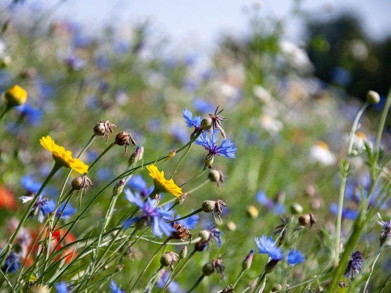 Blumenwiese für Bienen